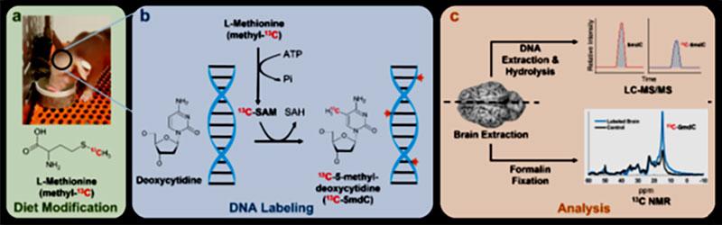Epigenetik MR: Yeni bir DNA metilasyonu görüntüleme yöntemi